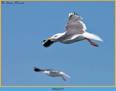lesser-black-backed-gull-107.jpg