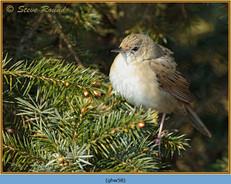 grasshopper-warbler-58.jpg