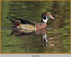 wood-duck-03.jpg