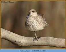 marbled-duck-02.jpg