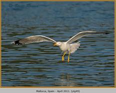 yellow-legged-gull-49.jpg