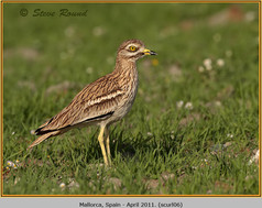 stone-curlew-06.jpg