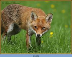 fox-65.jpg