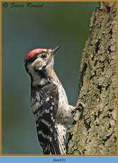 lesser-spotted-woodpecker-15.jpg