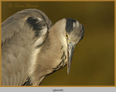 grey-heron-40.jpg