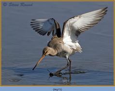 black-tailed-godwit- 72.jpg