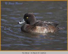 tufted-duck-12.jpg