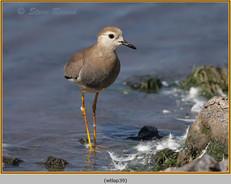 white-tailed-lapwing-39.jpg