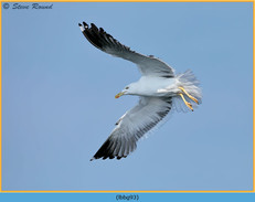 lesser-black-backed-gull- 93.jpg