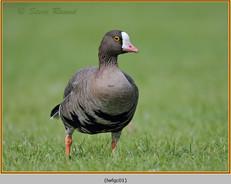 lesser-white-fronted-goose-01c.jpg
