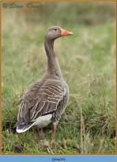 greylag-goose-26.jpg