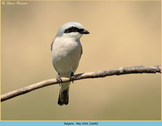red-backed-shrike-06.jpg