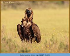 black-vulture-05.jpg