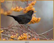 blackbird-52.jpg