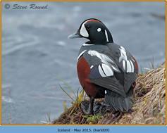 harlequin-duck-09.jpg