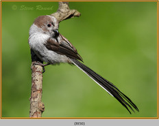 long-tailed-tit-50.jpg