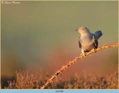 cuckoo-146.jpg