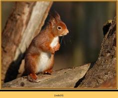 red-squirrel-19.jpg
