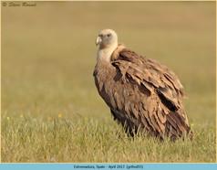 griffon-vulture-55.jpg