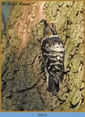 lesser-spotted-woodpecker-13.jpg