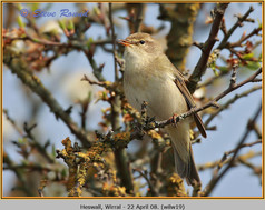 willow-warbler-19.jpg