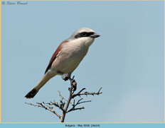 red-backed-shrike-14.jpg