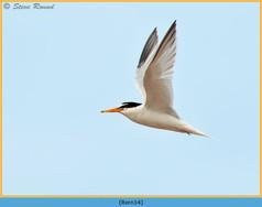 little-tern-14.jpg