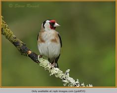 goldfinch-55.jpg