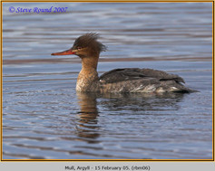 red-breasted-merganser-06.jpg