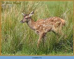red-deer-77.jpg