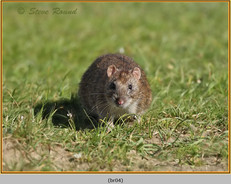 brown-rat-04.jpg