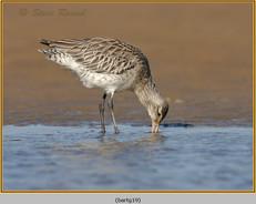 bar-tailed-godwit-19.jpg