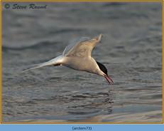 arctic-tern-73.jpg