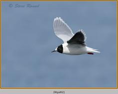 little-gull-02.jpg