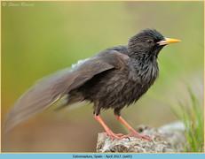 spotless-starling-05.jpg
