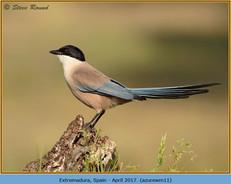 azure-winged-magpie-11.jpg