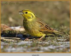 yellowhammer-36.jpg