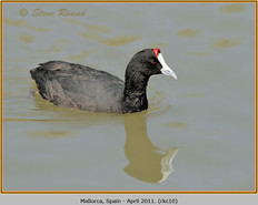 red-knobbed-coot-10.jpg
