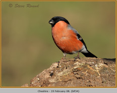 bullfinch-34.jpg