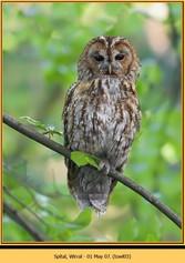 tawny-owl-03.jpg