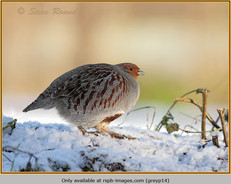 grey-partridge-14.jpg