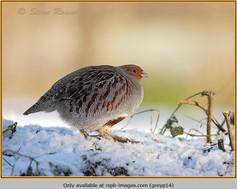 grey-partridge-14.jpg
