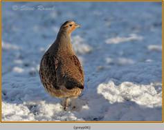 grey-partridge-06.jpg