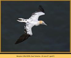 gannet-07.jpg