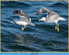lesser-black-backed-gull-128.jpg