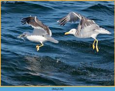 lesser-black-backed-gull-128.jpg