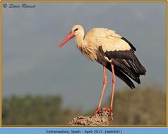white-stork-41.jpg