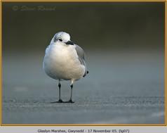 laughing-gull-07.jpg
