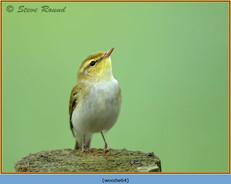 wood-warbler-64.jpg