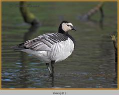 barnacle-goose-11.jpg